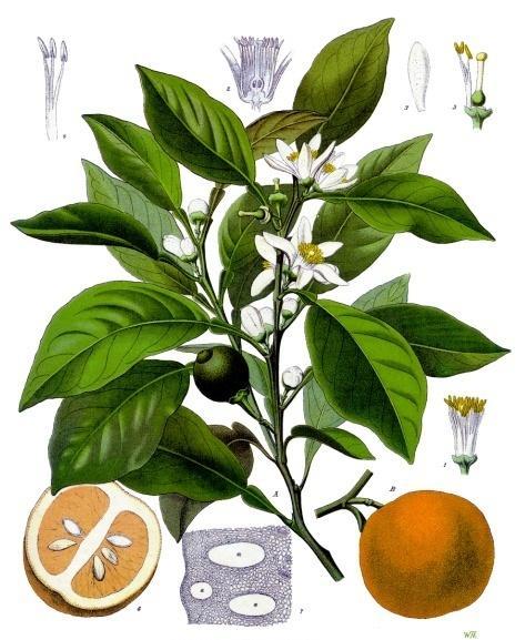 Citrus_aurantium (c) Köhlers Medizinal-Pflanzen