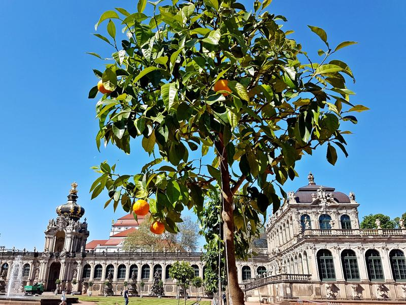 Dresdner Zwinger, Rückkehr der Orangen (c) Schloesserland Sachsen